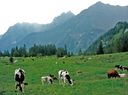 Viehherde Zalimalpe, Brandnertal